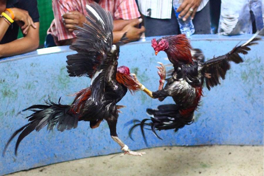 Panduan Merawat Ayam Laga