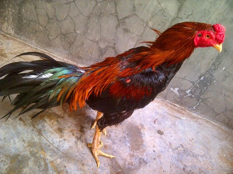 Mengatasi Ayam Laga Leres